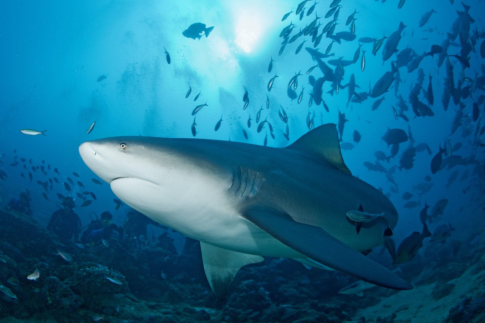 bull sharks diving