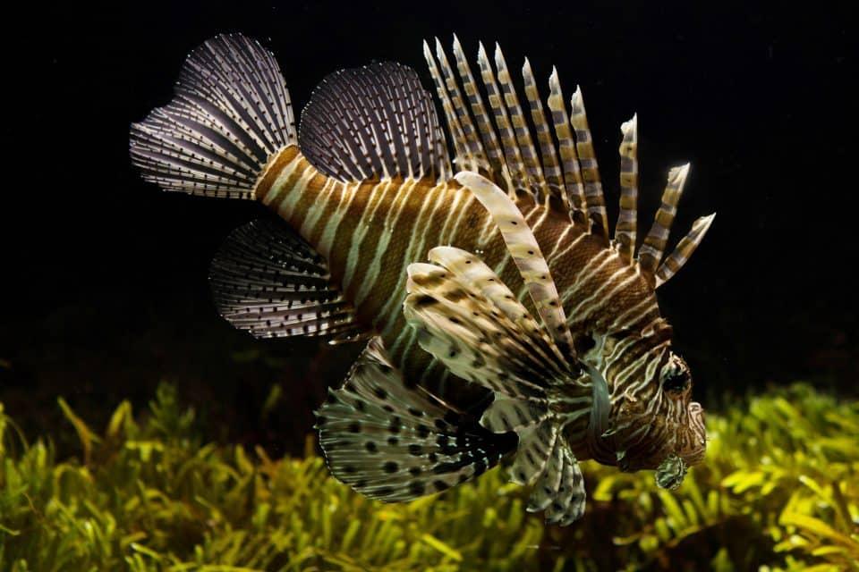 lion fish nha trang diving