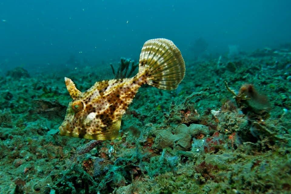 puffer fish nha trang diving