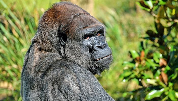 gorilla uganda africa