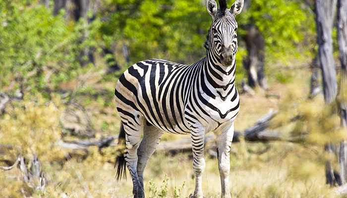 zebra africa oddysey