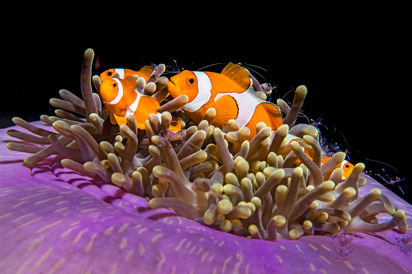 Clown fish in Raja Ampat, Indonesia