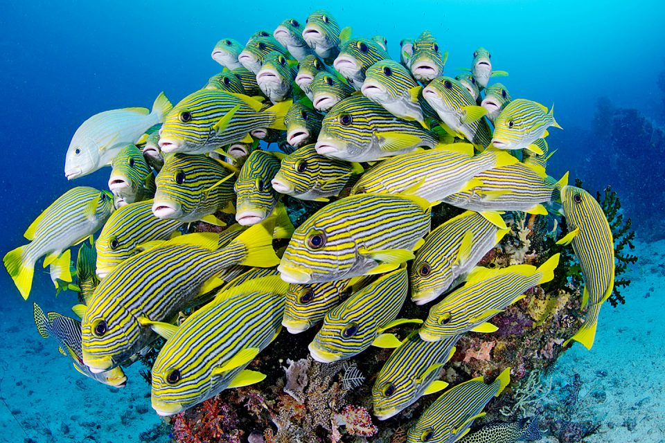 Yellow striped fish in Raja Ampat, Indonesia