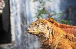 galapagos-iguana