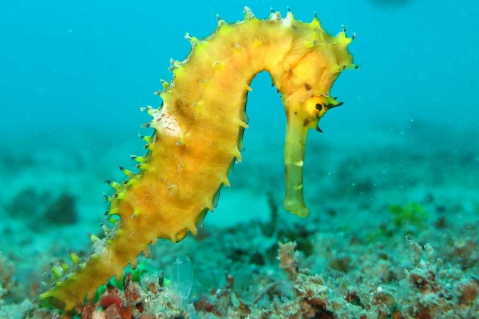 vietnam-diving-seahorse