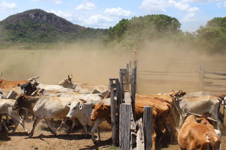 guyana ranch cattle