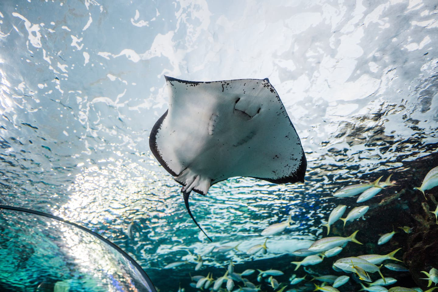 Wild manta ray swimming in ocean