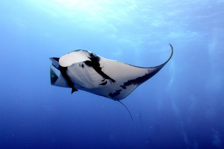 egypt diving: manta-ray