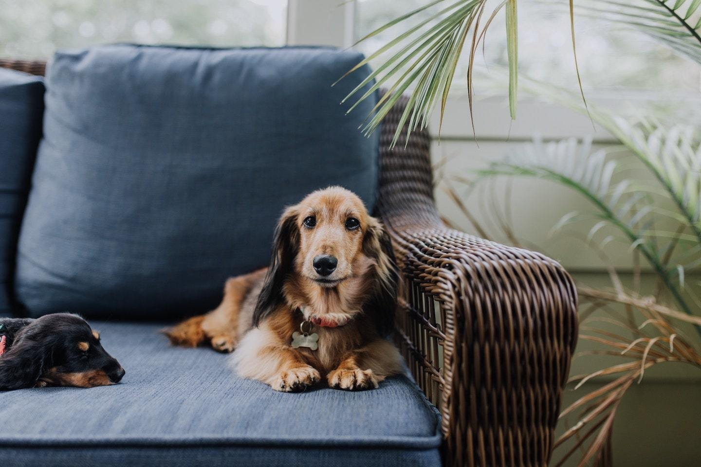 dogs sitting on blue couch